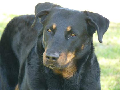 Beauceron chiot a vendre, chien bas rouge a adopter
