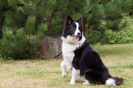 border collie chiot a vendre chien achat vente adoption petites annonces. Black Bedroom Furniture Sets. Home Design Ideas