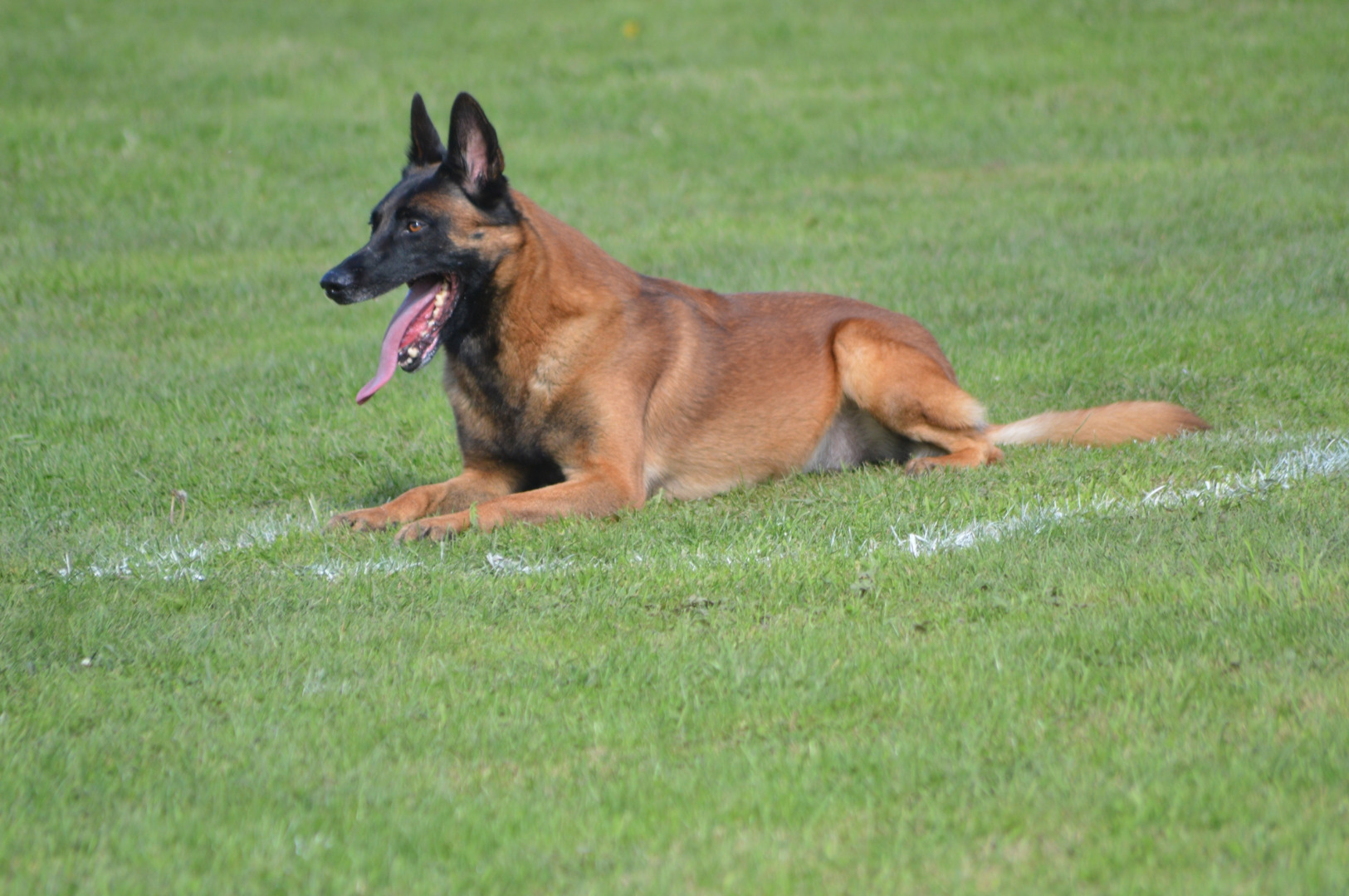 Elevage familial berger malinois/berger allemand à Courset