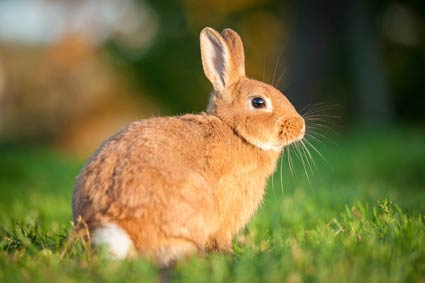 Lapin nain a vendre annonces de rongeurs vente - Photo de lapin mignon ...