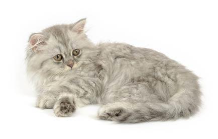 2 annonces de chats et de chatons british longhair