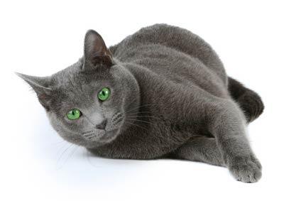 2 annonces de chats et de chatons bleus russe
