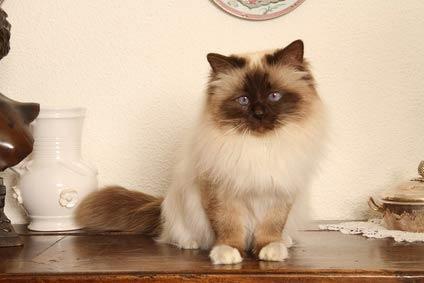 19 annonces de chats et chatons birman (sacré de birmanie)