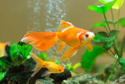poisson rouge vente don adoption achat oranda queue d