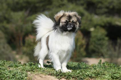 annonces de chiens et chiots épagneul tibétain