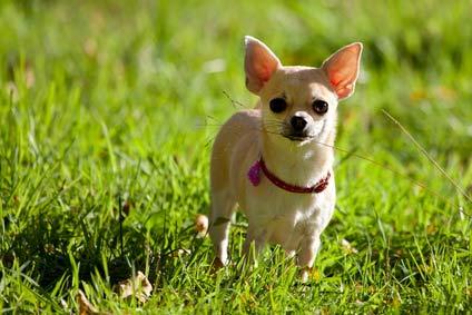 annonces de chiens et chiots chihuahua