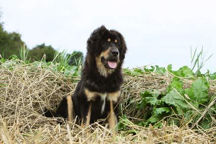 annonces de chiens et de chiots dogues du tibet