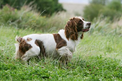annonces de chiens et chiots springer spaniel anglais