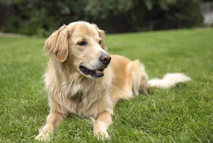 annnonces de chiens et de chiots golden