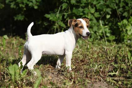 Annonce de Jack Russel Terrier morbihan