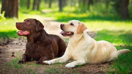 annonces de chiens et chiots labrador