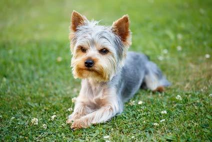 annonces de chiens et chiots yorkshire