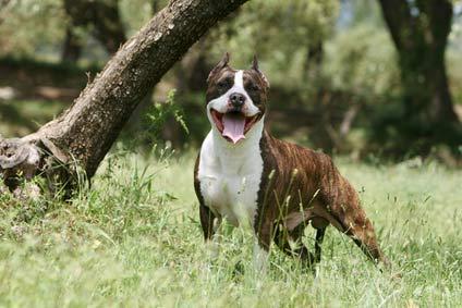 Annonces de Staffordshire Terrier Americain