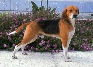 annonces de chiens et de chiots beagle harrier