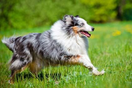 annonces de chiens et chiots berger des shetland