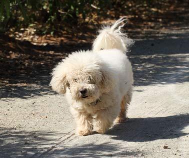 annonces de chiens et chiots bichon maltais