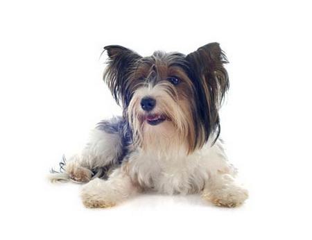 Annonce de Biewer Yorkshire terrier