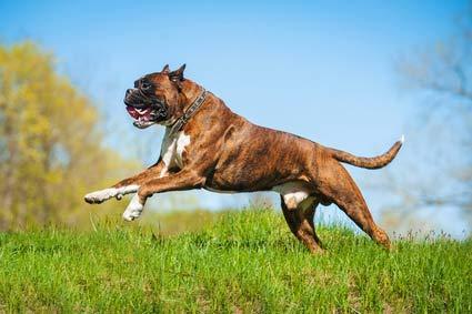 annonces de chiens et de chiots boxer