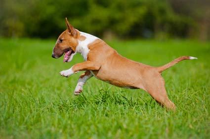 annonces de chiens et chiots bull terrier