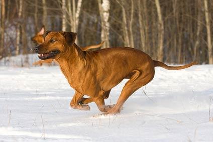 annonces de chien de rhodesie