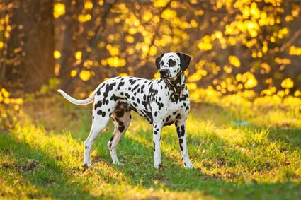 annonces de chiens et chiots dalmatiens
