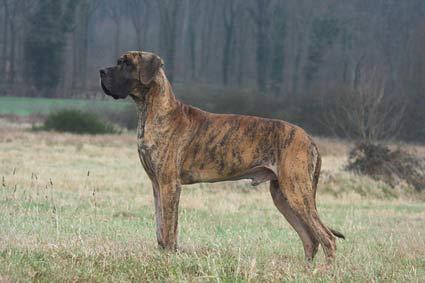 annonces de chiens et de chiots dogue allemand (danois)