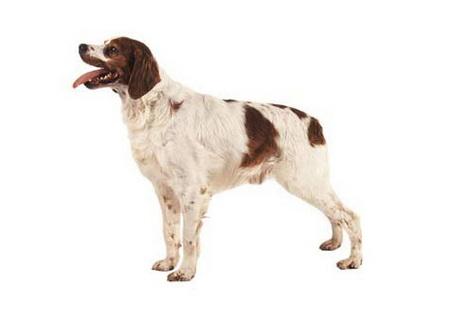 annonces de chiens et de chiots épagneul français