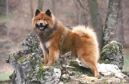 annonces de chiens et de chiots eurasier
