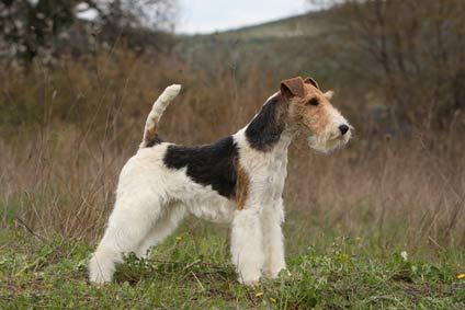 annonces de chiens et chiots fox terrier poil dur
