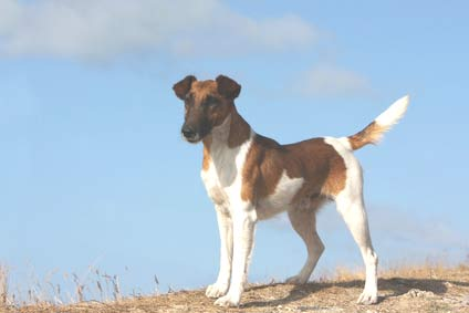 annonces de chiens et chiots fox terriers à poil lisse
