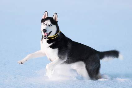 annonces de chiens et de chiots husky