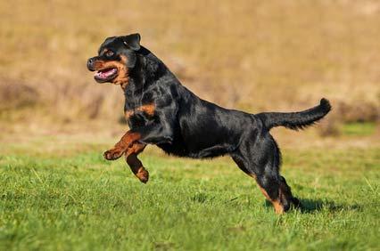 annonces de chiens et de chiots rottweiler