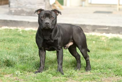 annonces de chiens et de chiots Staffordshire Bull Terrier (Staffie)