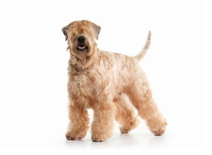 Annonce de Terrier Irlandais A Poil Doux