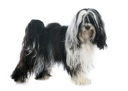 annonces de chiens et de chiots terriers du tibet
