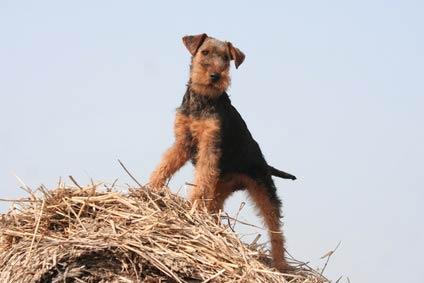 Annonce de Welsh Terrier