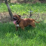 stafforshire bull terrier /staffie pour saillie