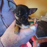 a reserver chiots chihuahua fac reg 10 fois