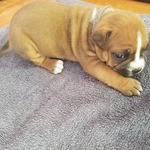 superbe chiot american staff terrier lof - miniature 5