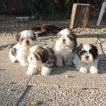 /upload/annonces/75772/thumbnail/01-shih.jpgadorables chiots shih tzu