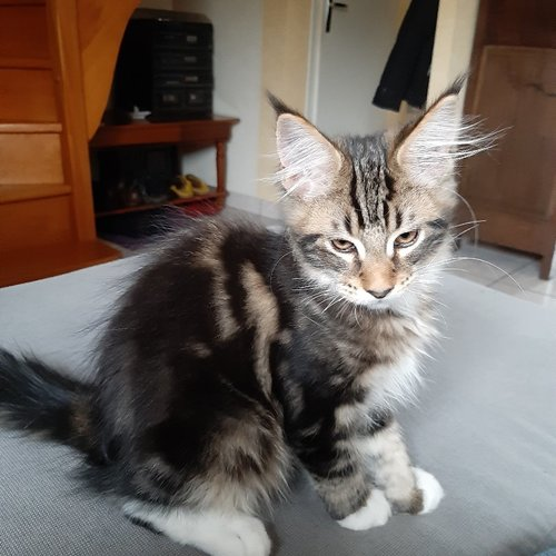 chaton main coon a vendre 2