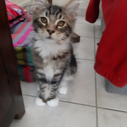 chaton main coon a vendre 3