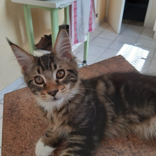chaton main coon a vendre 5
