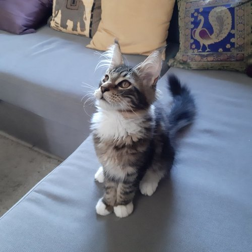 chaton main coon a vendre 6