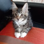 chaton main coon a vendre - miniature 1