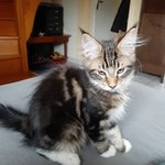 chaton main coon a vendre - miniature 2