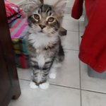 chaton main coon a vendre - miniature 3