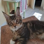 chaton main coon a vendre - miniature 5