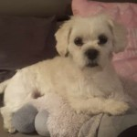 /upload/annonces/75851/thumbnail/01-20171028_232153.jpgdonne chien male type lhassa apso