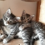 chatons maine coon - miniature 1